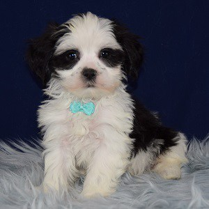 Keo Mal Shi puppy for sale in VA