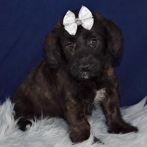Latte Corgipoo puppyfor sale in CT
