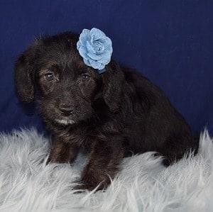 Mocha Corgipoo puppy for sale in PA