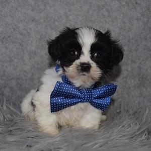 Mal Shi Puppy For Sale – Nikola, Male – Deposit Only