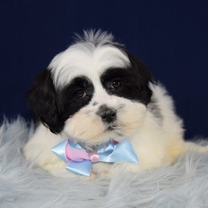 Oreo Mal Shi puppy for sale in WV