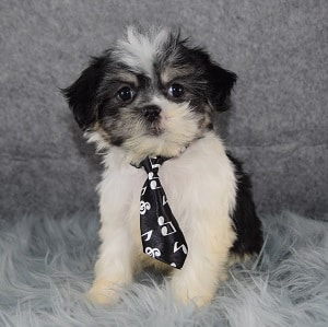 Peyton Mal Shi puppy for sale in NY