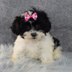 Praline Mal Shi puppy for sale in DE