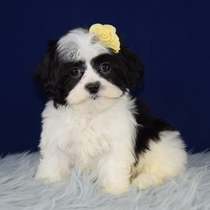 Snickerdoodle Mal Shi puppy for sale in NJ