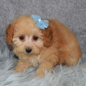 Beatrice Cavachonpoo puppy for sale in NY