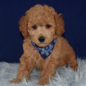 Randy Cavachonpoo puppy for sale in WV