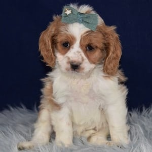 Seraphina Cockapoolier puppy for sale in CT