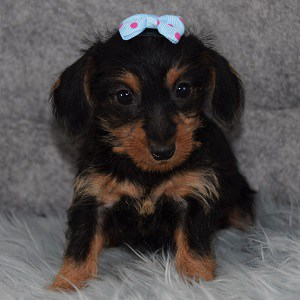 Sparkle Dorkie puppy for sale in PA