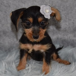 Glimmer Dorkie puppy for sale in NY