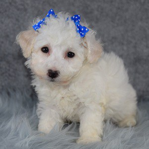 Anna Bichonpoo puppy for sale in NJ