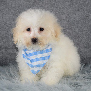 Jiffy Bichonpoo puppy for sale in DE