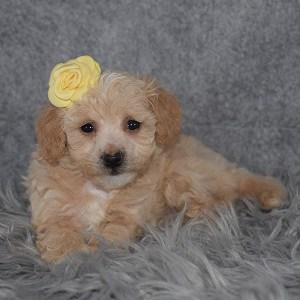 Bichonpoo Puppy For Sale – Willa, Female – Deposit Only