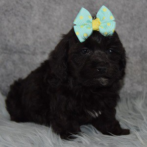 Damask Havapoo puppy for sale in VA