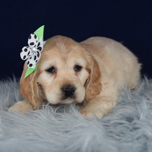 Diamond Cocker puppy for sale in CT