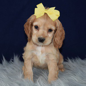 Heloise Cocker puppy for sale in MD