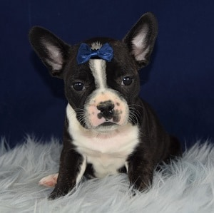 Morgan Frenchton puppy for sale in MD