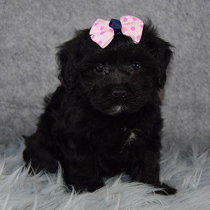Nefertiti Havapoo puppy for sale in RI