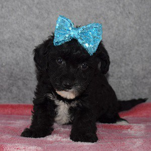 Yorkiepoo Puppy For Sale – Nixie, Female – Deposit Only