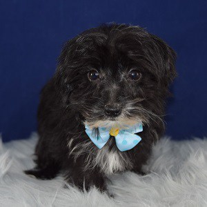 Yorkiepoo Puppy For Sale – Pablo, Male – Deposit Only