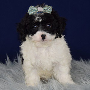 Paisley Havapoo puppy for sale in MD