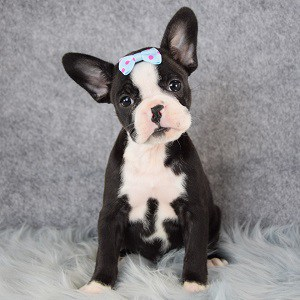 Swan Frenchton puppy for sale in NJ