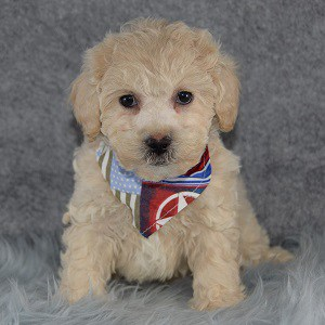 McFadden Bichonpoo puppy for sale in NY