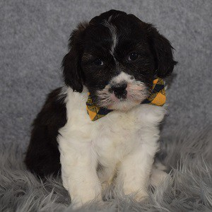 Shichon Puppy For Sale – Trevor, Male – Deposit Only