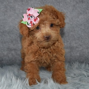 Veda Bichonpoo puppy for sale in VA