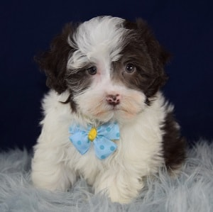 Dante Havanese puppy for sale in PA