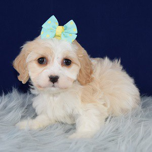 Trinity Cavachon puppy for sale in RI
