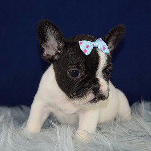 Beanie Frenchie puppy for sale in MD