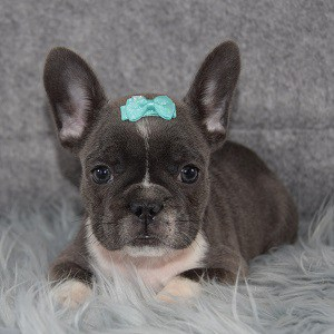 Bubbles Frenchie puppy for sale in PA
