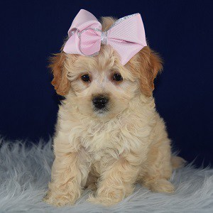 Cleopatra Havapoo puppy for sale in MA