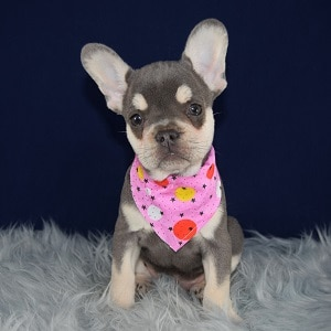 French Bulldog Puppy For Sale – Lilo, Female – Deposit Only