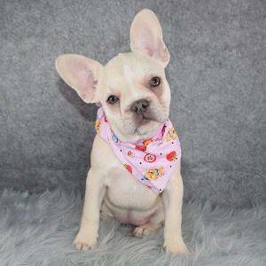 French Bulldog Puppy For Sale – Lulu, Female – Deposit Only
