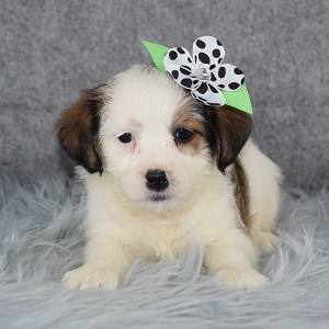 Persephone Jack Tzu puppy for sale in DC