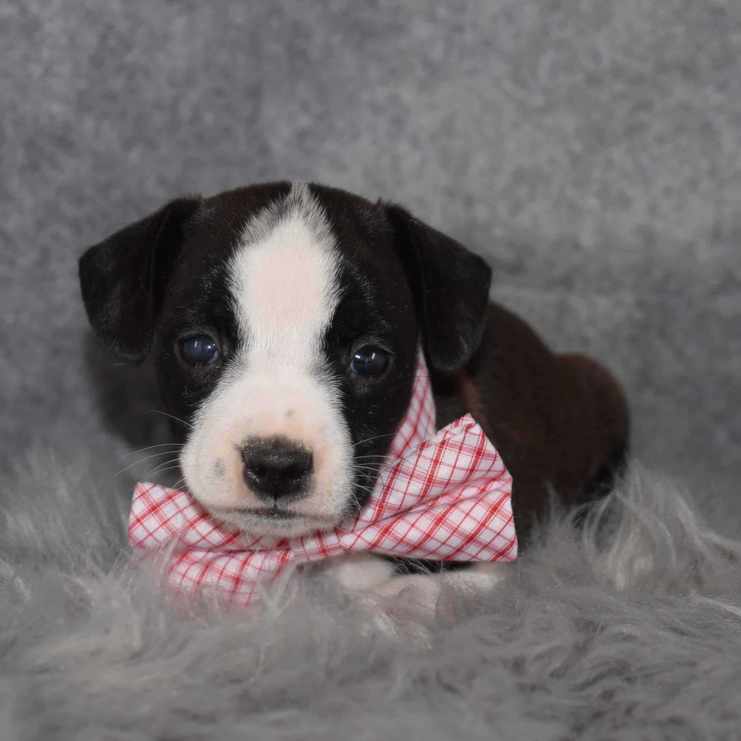 BoJack Puppy For Sale – Abbott, Male – Deposit Only