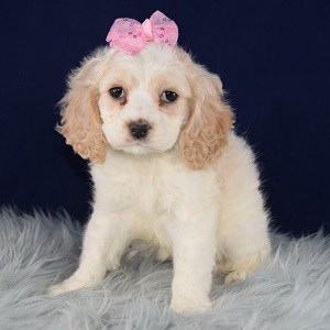 Cockalier Puppy For Sale – Betty, Female – Deposit Only