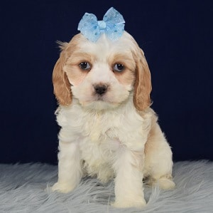 Cockalier Puppy For Sale – Bonnie, Female – Deposit Only