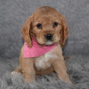 Cockalier Puppy For Sale – Damaris, Female – Deposit Only