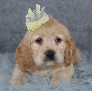 Opal Cocker puppy for sale in PA