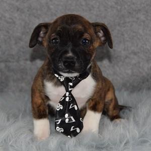 BoJack Puppy For Sale – Pretzel, Male – Deposit Only