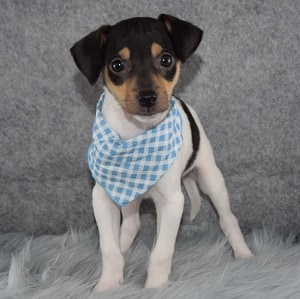 Rat Terrier Puppy For Sale – Coyote, Male – Deposit Only