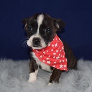 BoJack Puppy For Sale – Popcorn, Male – Deposit Only