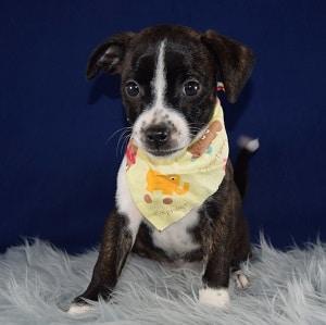 BoJack Puppy For Sale – Violet, Female – Deposit Only