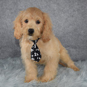 Cockerchonpoo Puppy For Sale – Perry, Male – Deposit Only