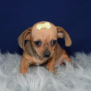 Chiweenie Puppy For Sale – Taquito, Female – Deposit Only