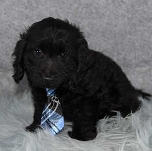 Doxiepoo Puppy For Sale – Theo, Male – Deposit Only