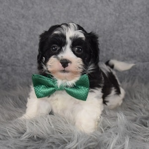 Teddypoo Puppy For Sale – Benedict, Male – Deposit Only