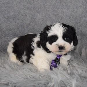 Teddypoo Puppy For Sale – Bingham, Male – Deposit Only